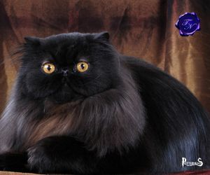 Gatto di Millicent Bulstrode Harry Potter - PotterPedia.it